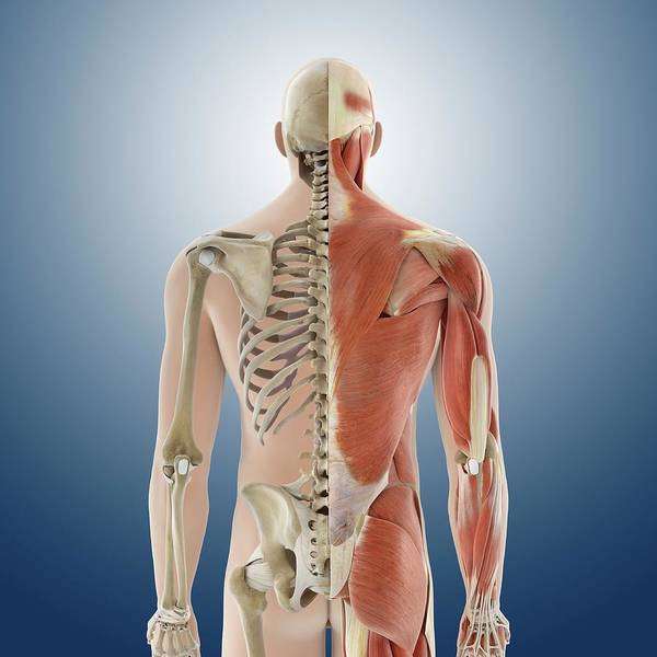 Wall Art - Photograph - Back Anatomy by Springer Medizin/science Photo Library