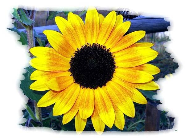 Wall Art - Photograph - Back Forty Sunflower by Will Borden