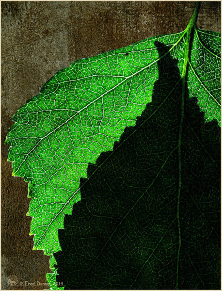 Photograph - Back Light Birch Leaves 2 by Fred Denner