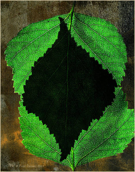 Photograph - Back Light Birch Leaves by Fred Denner