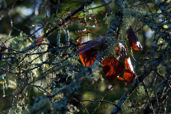 Photograph - Back Lit Autumn Leaves by Joanne Smoley