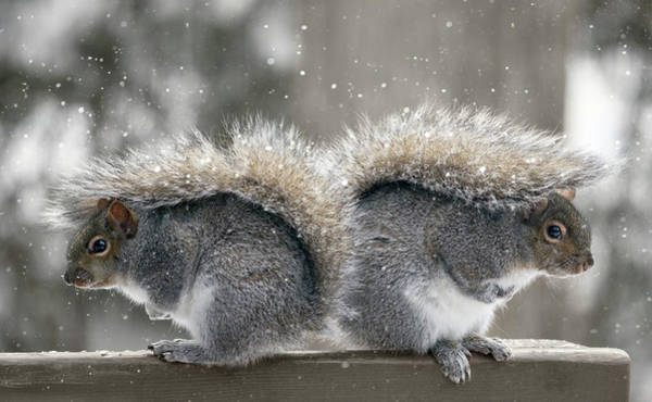Gray Hair Photograph - Back To Back Squirrels by Photo By Marianna Armata