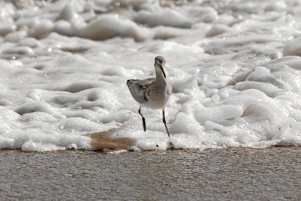 Sandpiper Photograph - Back To Safety  by Betsy Knapp