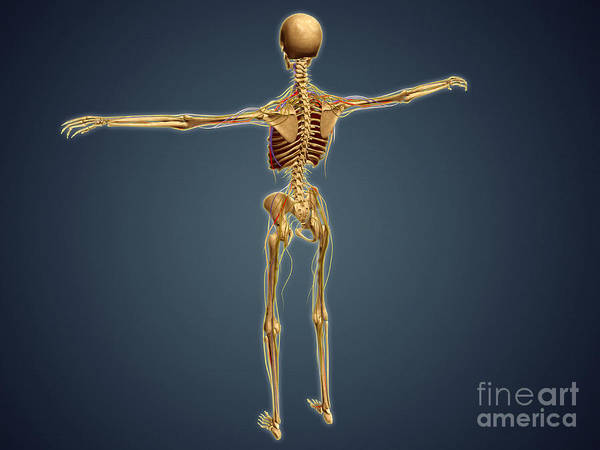 Lumbar Plexus Digital Art - Back View Of Human Skeleton by Stocktrek Images