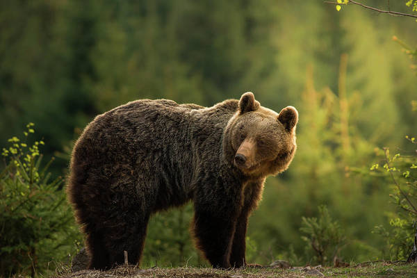Strength Photograph - Backlit Bear by Richard Krchnak