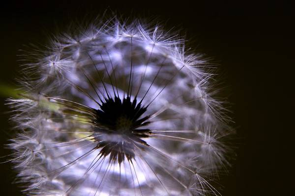 Photograph - Backlit Dandelion by David Rich