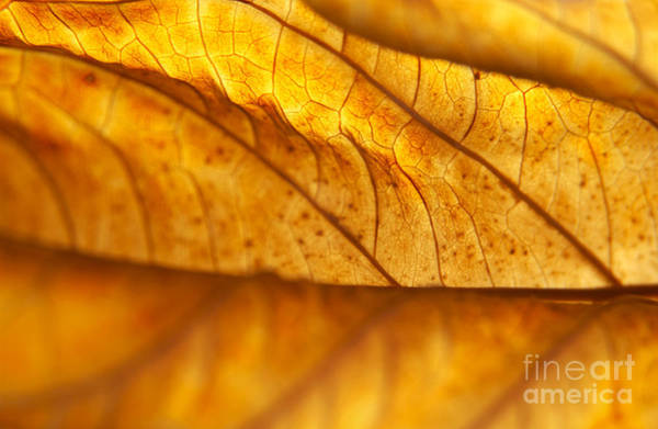 Wall Art - Photograph - Backlit Dead Hydrangea Leaf by Anna Lisa Yoder