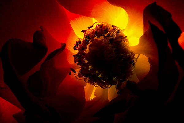 Photograph - Backlit Flower by Fabrizio Troiani