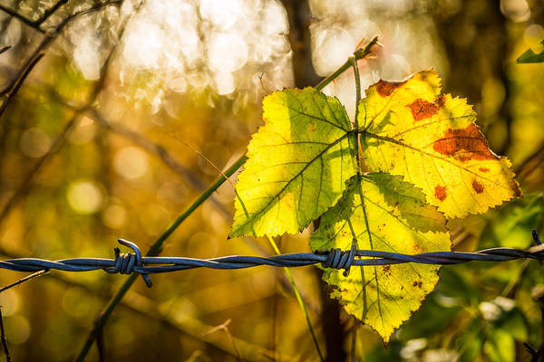 Photograph - Backlit Leaf. by Gary Gillette