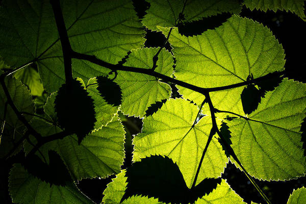 Photograph - Backlit Leaves by Fabrizio Troiani