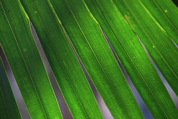 Far North Queensland Wall Art - Photograph - Backlit Leaves Of A Palm Tree Form by Paul Dymond