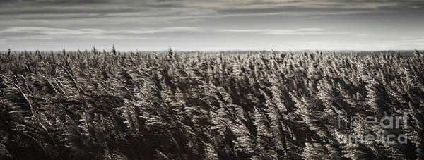 Marsh Grass Photograph - Backlit Marsh Grass by Nigel Jones
