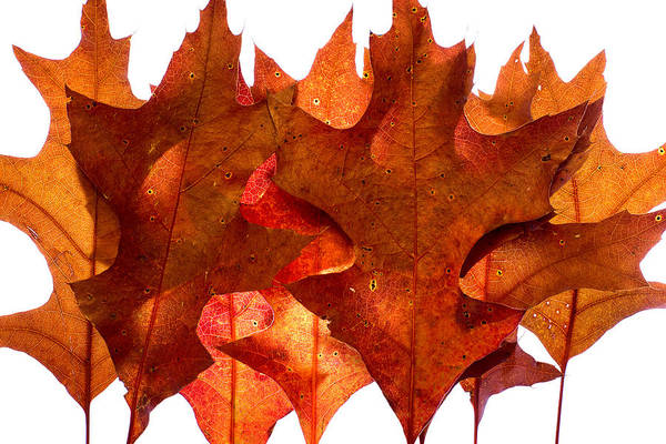 Photograph - Backlit Oak Leaves by Chris Bordeleau