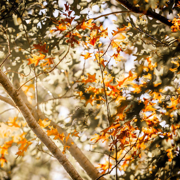 Photograph - Backlit Oak by Melinda Ledsome