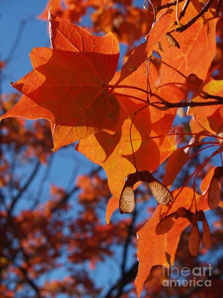 Acer Saccharum Photograph - Backlit Orange Sugar Maple Leaves by Anna Lisa Yoder