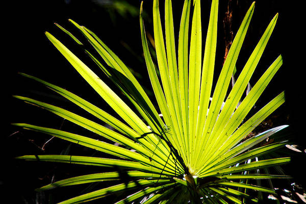 Photograph - Backlit Palm Frond by David Rich