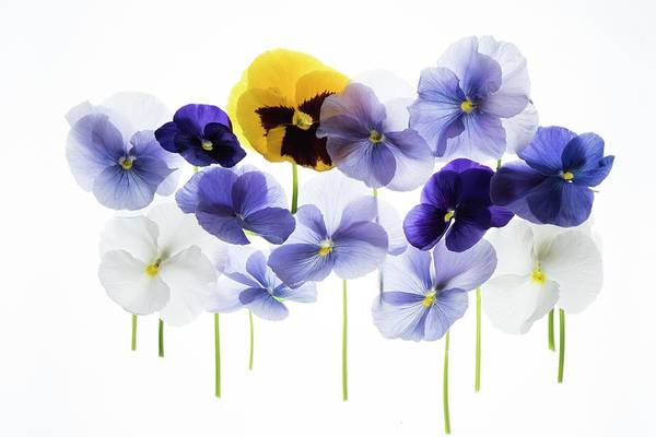 Wall Art - Photograph - Backlit Pansies by Photostock-israel/science Photo Library