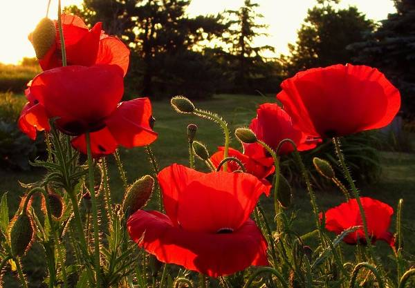 Photograph - Backlit Red Poppies by Mary Wolf