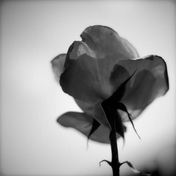 Photograph - Backlit Rose Black And White by Ron White