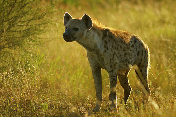 Back In The Day Photograph - Backlit Spotted Hyena In The Early by Emil Von Maltitz