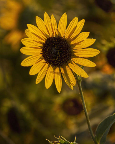 Photograph - Backlit Sunflower 2 by Rob Graham