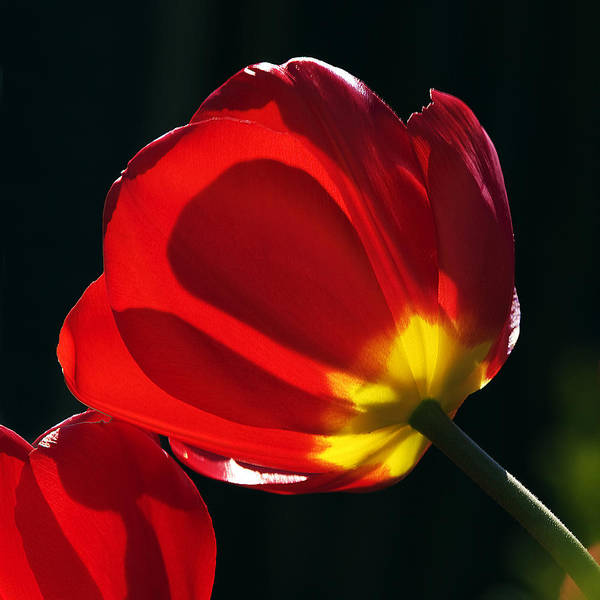Photograph - Backlit Tulip by Ross G Strachan