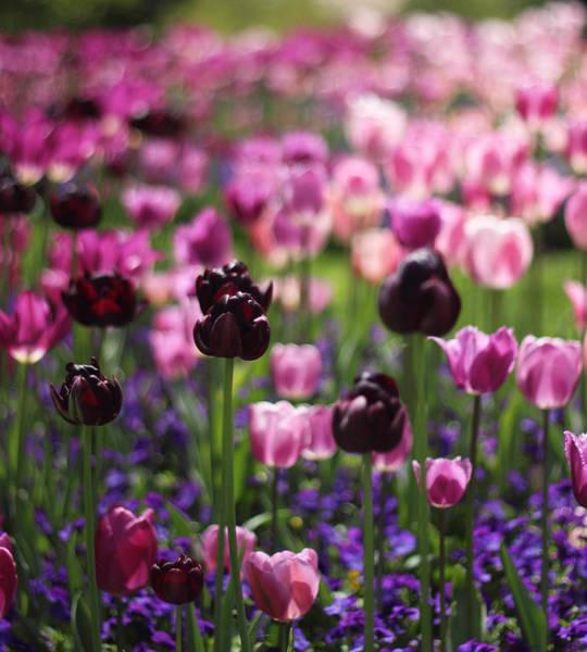 Photograph - Backlit Tulips by Jessica Jenney