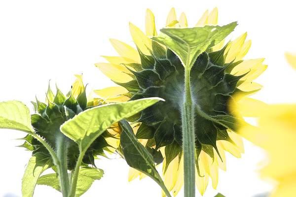 Backside Of Sunflower Art Print