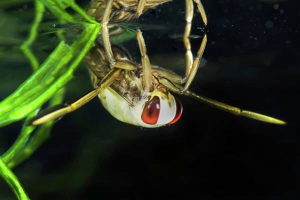 Freshwater Photograph - Backswimmer Nymph by Sinclair Stammers/science Photo Library
