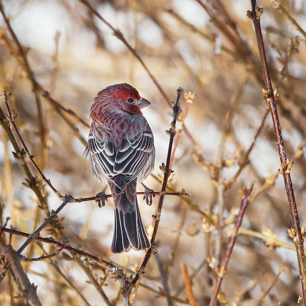 House Finch Wall Art - Photograph - Backyard Birds Male House Finch Square by Bill Wakeley