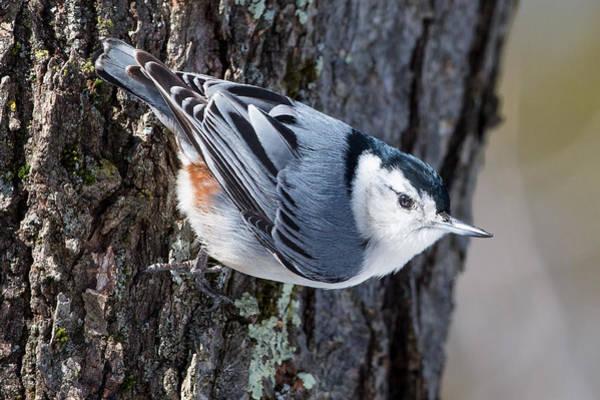 White-breasted Nuthatch Photograph - Backyard Birds Nuthatch by Bill Wakeley