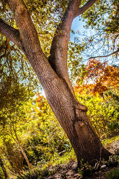 Photograph - Backyard Oak by Melinda Ledsome