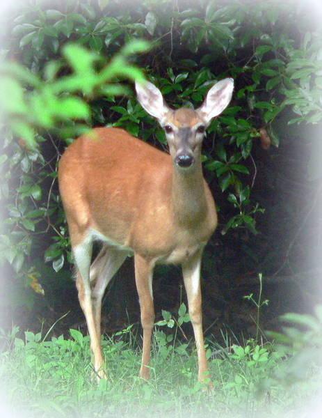 Wall Art - Photograph - Backyard Whitetail Deer by Jo Anna Wycoff