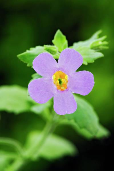 Bacopa Photograph - Bacopa 'blue' by Geoff Kidd/science Photo Library