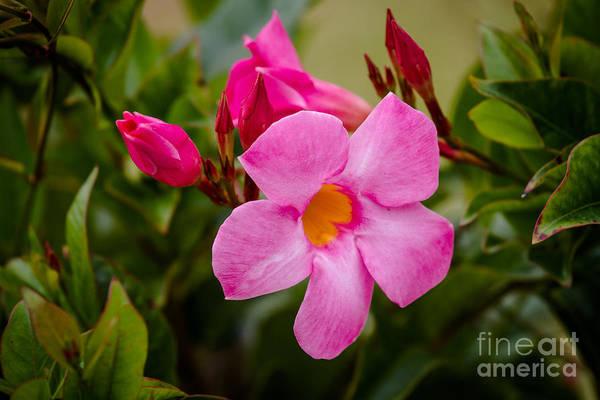 Bacopa Photograph - Bacopa Flower by Warrena J Barnerd