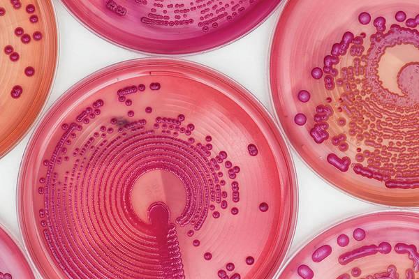 Escherichia Coli Photograph - Bacteria Cultures In Macconkey Agar by Daniela Beckmann / Science Photo Library