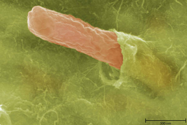 Scanning Electron Micrograph Wall Art - Photograph - Bacteria by Science Stock Photography