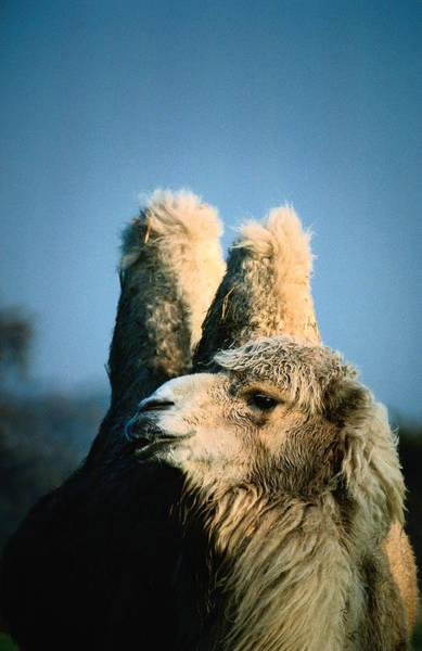 Safari Animal Photograph - Bactrian Camel Camelus Bactrianus by John Hay