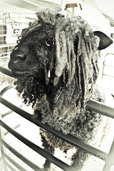 Petting Zoo Photograph - Bad Hair Day by Colleen Kammerer