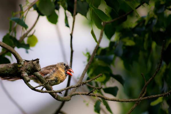 Photograph - Bad Hair Day-female Northern Cardinal by  Onyonet  Photo Studios