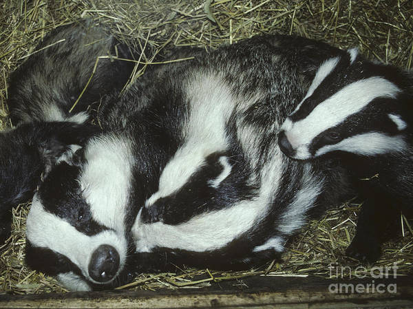 Photograph - Badger Family by Phil Banks