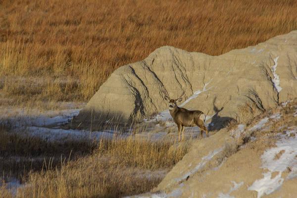 Photograph - Badlands Buck by Aaron J Groen