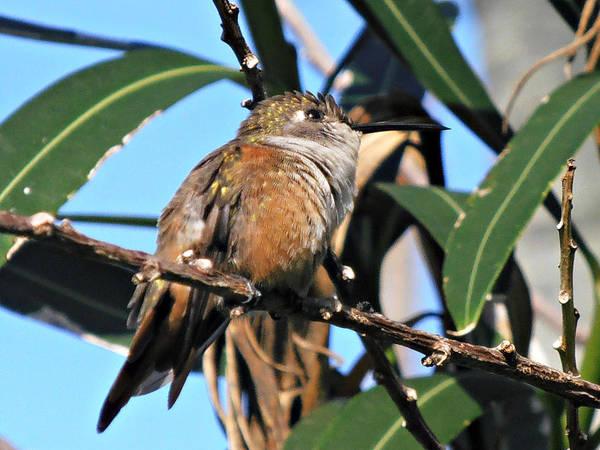 Photograph - Bahama Woodstar Hummingbird by Kimberly Perry
