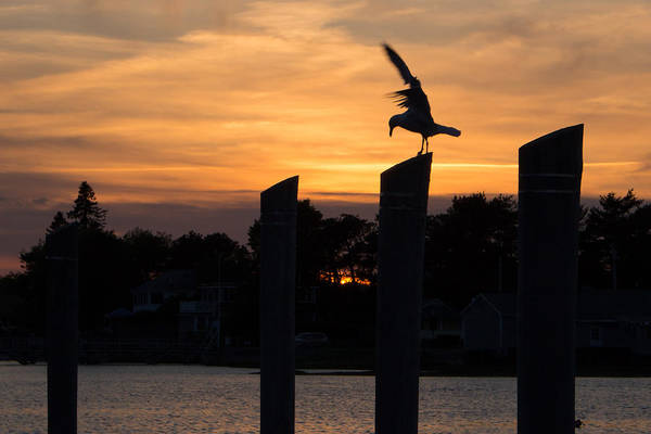 Photograph - Balance - A Seagull Sunset Silhouette by Kirkodd Photography Of New England