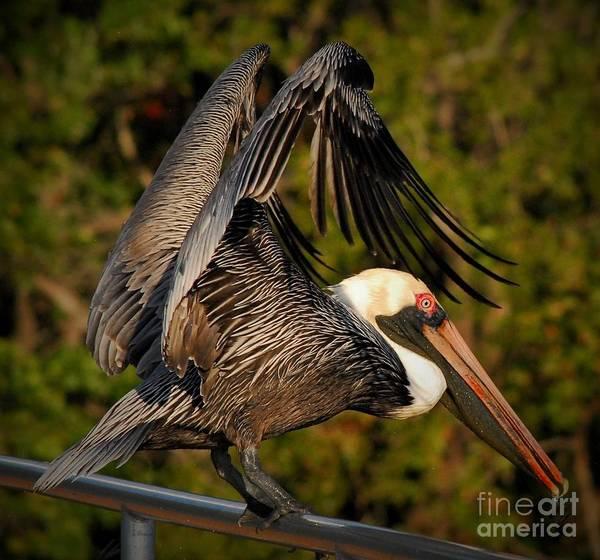Brown Pelicans Photograph - Balancing Act by Quinn Sedam