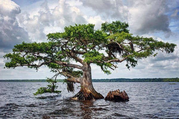 Bald Cypress Photograph - Bald Cypress by Nikolyn McDonald