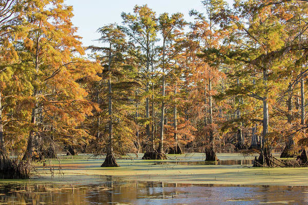 Bald Cypress Wall Art - Photograph - Bald Cypress Trees In Swamp, Horseshoe by Panoramic Images