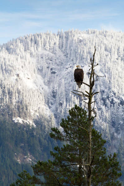Woodside Photograph - Bald Eagle - Haliaeetus Leucocephalus by Michael Russell
