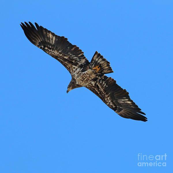 Wall Art - Photograph - Bald Eagle 2429 by Jack Schultz