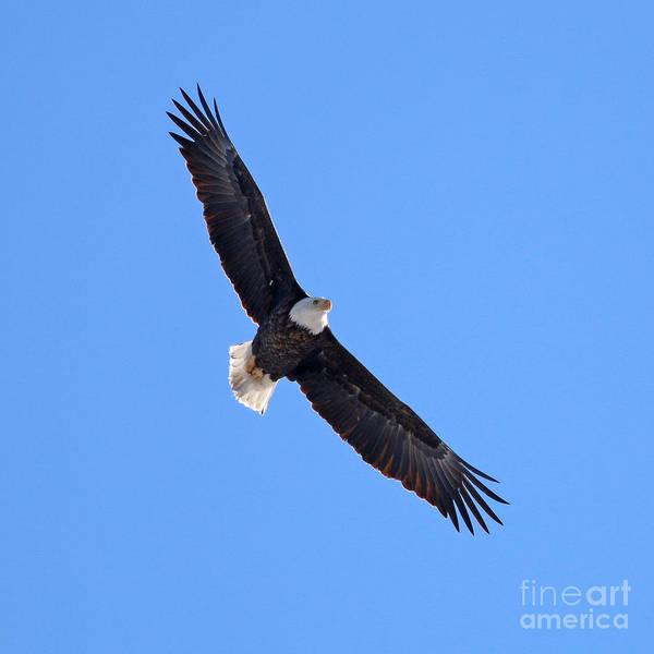 Wall Art - Photograph - Bald Eagle 3112 by Jack Schultz